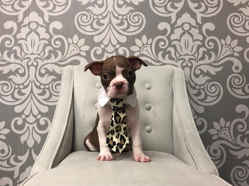 Boston Terrier-Male-RED WHITE-2402719-Furry Babies