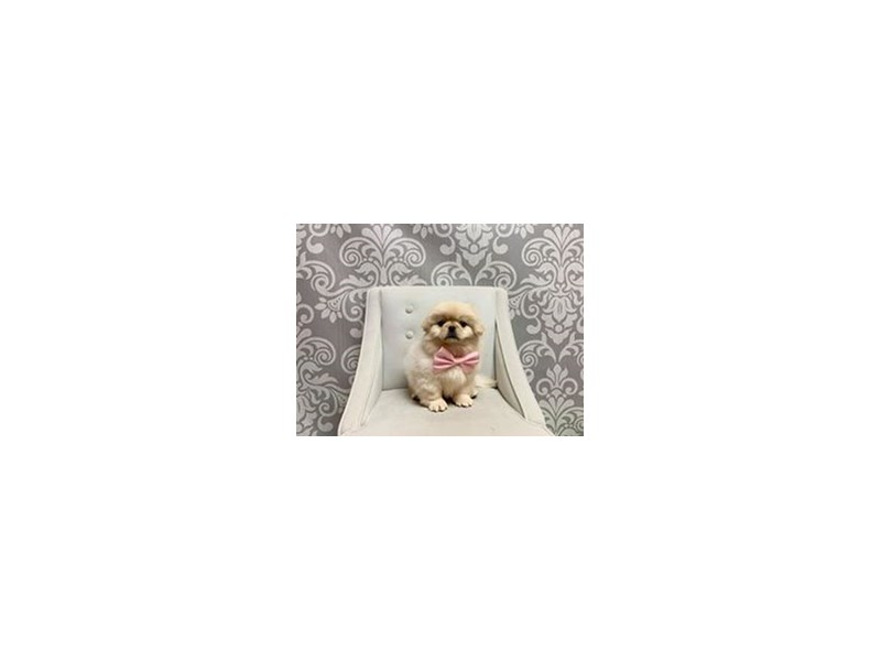 Pekingese-Male-Cream-2448336-Furry Babies