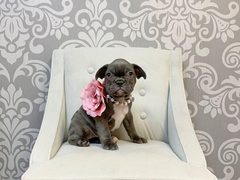 French Bulldog-Female-BLUE-2457278-Furry Babies