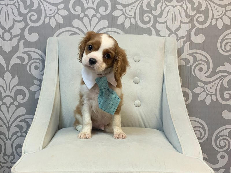 Cavalier King Charles Spaniel-Male-blienhiem-2457777-Furry Babies