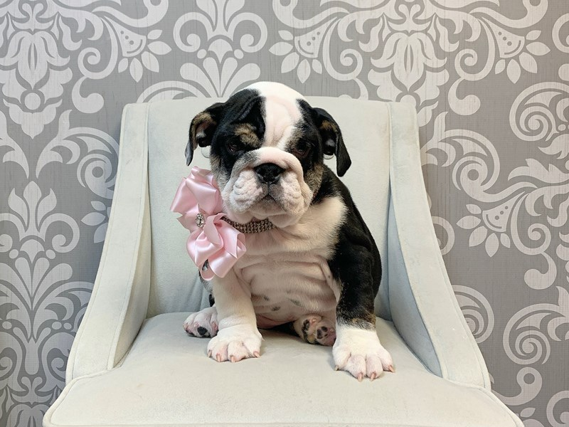 English Bulldog-Female--2460625-Furry Babies