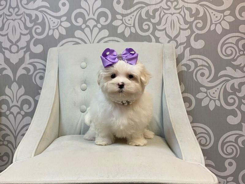 Maltese-Female-WHITE-2463818-Furry Babies