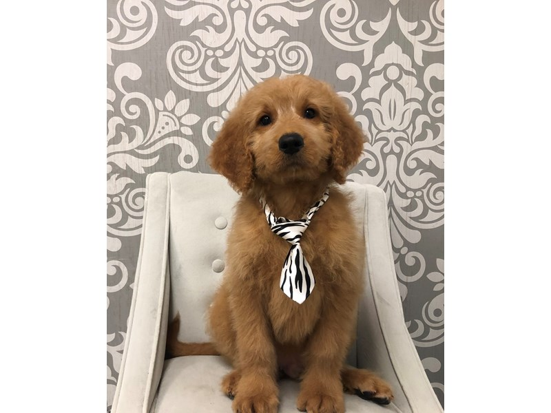 Goldendoodle-Male-Golden-2463502-Furry Babies