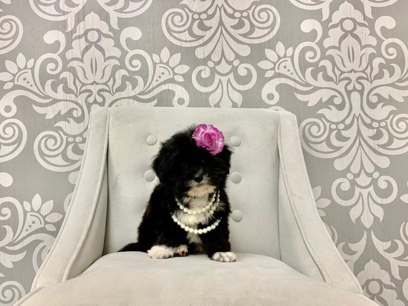 Teddy Bear-Female-BLK WHITE-2463999-Furry Babies