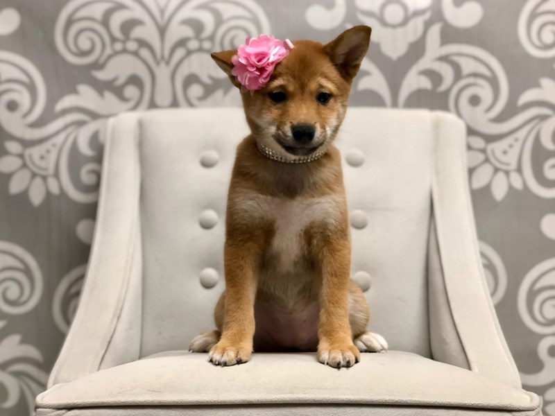 Shiba Inu-Female-RED-2496986-Furry Babies