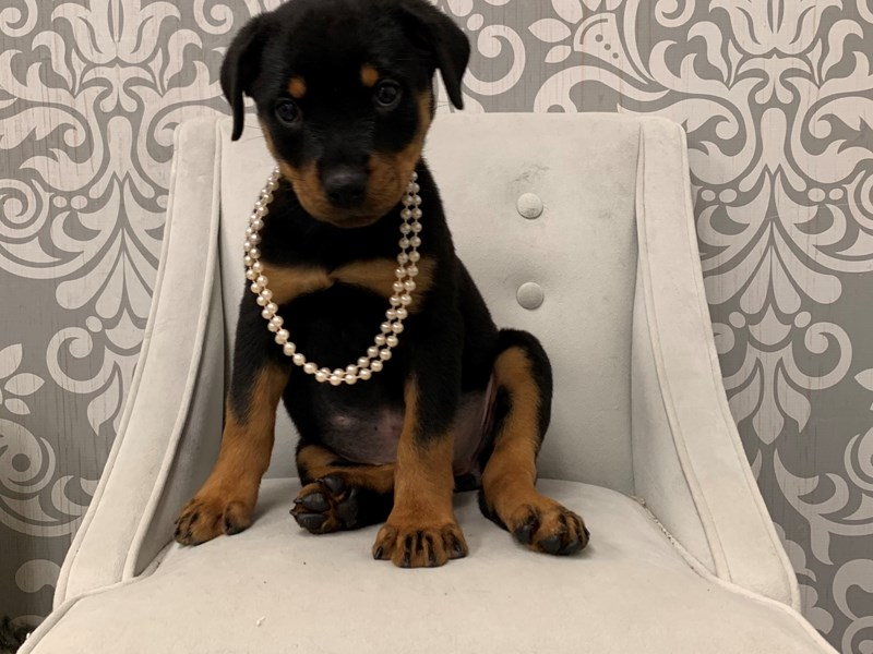 Rottweiler-Female-Black and Tan-2454355-Furry Babies