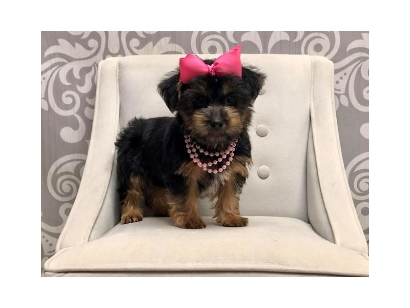 Morkie-Female-BLK TAN-2469390-Furry Babies