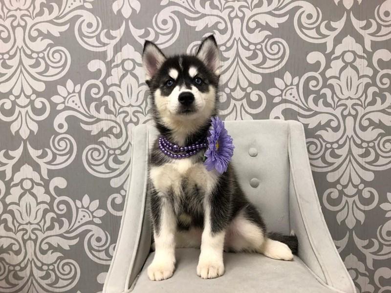 Siberian Husky-Female-Black & White-2469595-Furry Babies