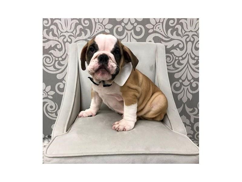 English Bulldog-Male-Tan-2479648-Furry Babies