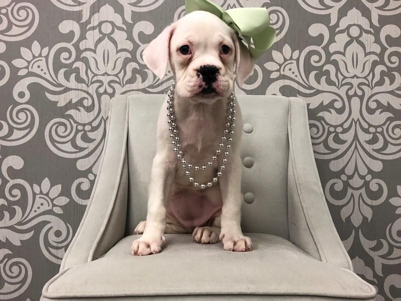 Boxer-Female-Cream-2503229-Furry Babies