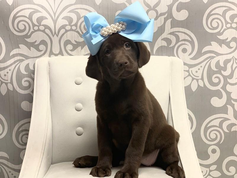 Labrador Retriever-Female-Chocolate-2509732-Furry Babies