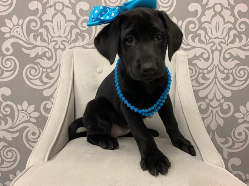 Labrador Retriever-Female-Black-2509727-Furry Babies