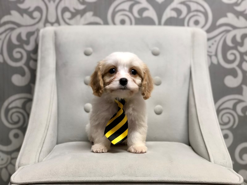 Cavachon-Male-Blenheim-2523228-Furry Babies