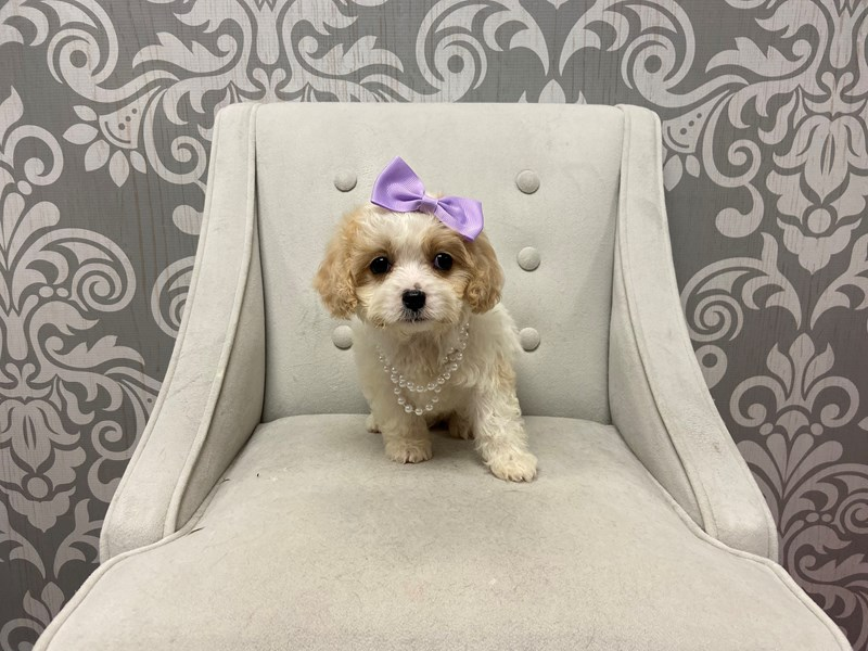 Cavachon-Female-Blenheim-2530217-Furry Babies