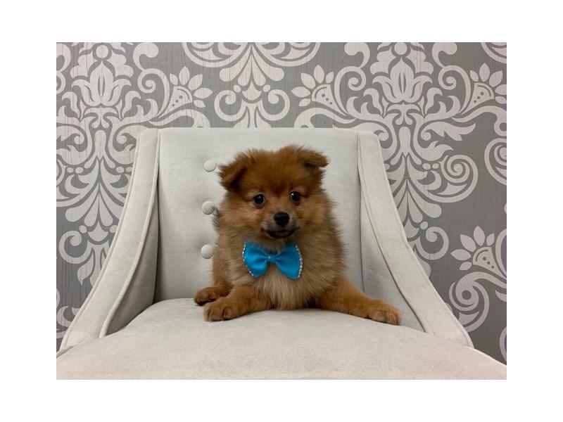 Pomeranian-Male-RED-2530517-Furry Babies