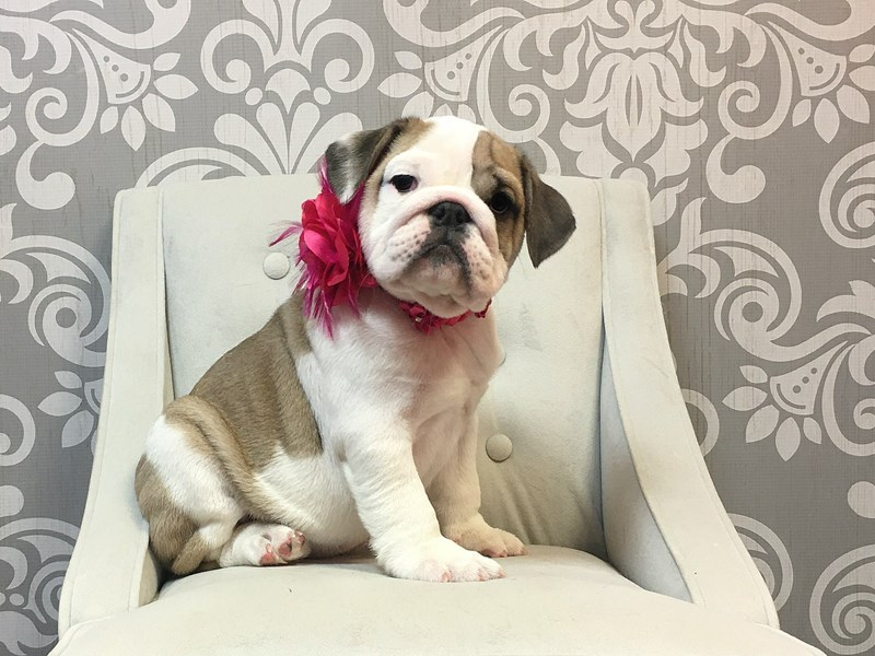 English Bulldog-Female--2540982-Furry Babies