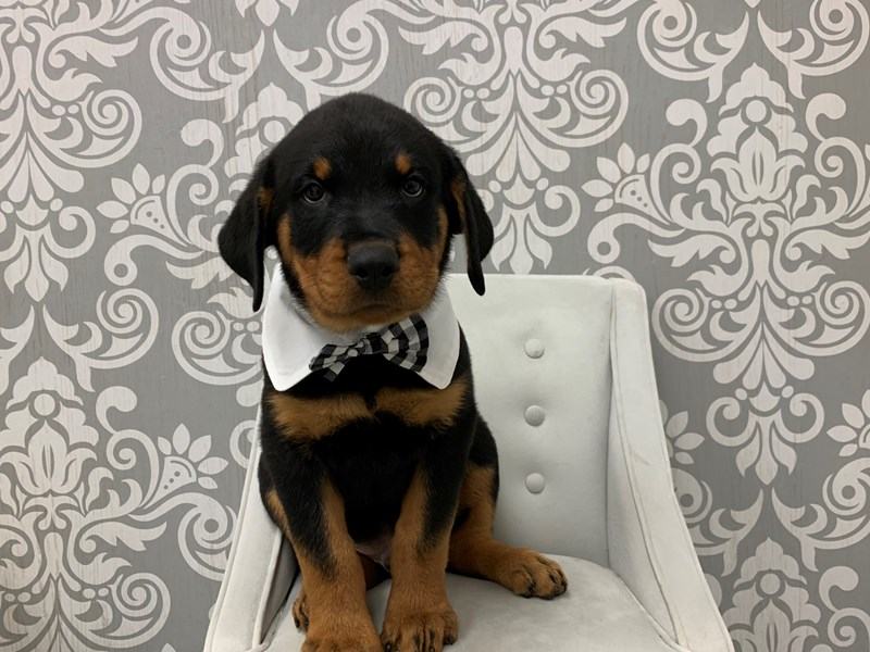 Rottweiler-Male-Black-2466523-Furry Babies