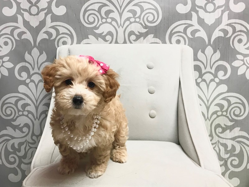 Miniature Poodle-Female-RED WHITE-2523086-Furry Babies