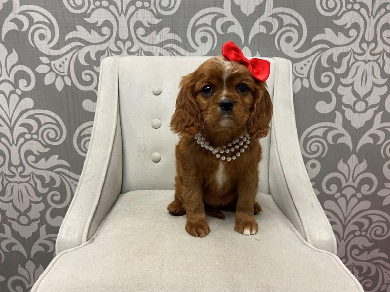 Cavalier King Charles Spaniel-Female-Ruby-2532939-Furry Babies
