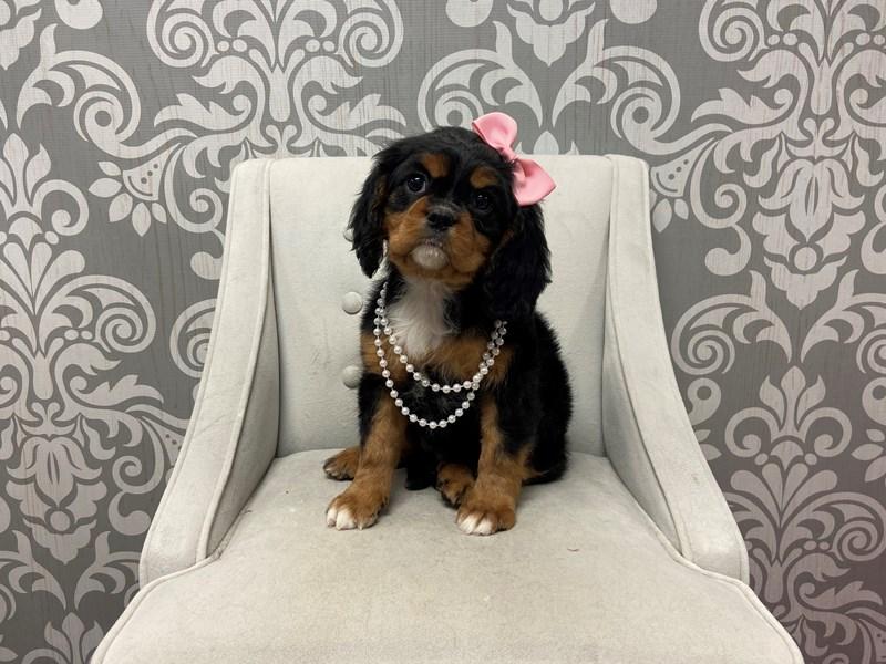 Cavalier King Charles Spaniel-Female-Tri Color-2532934-Furry Babies