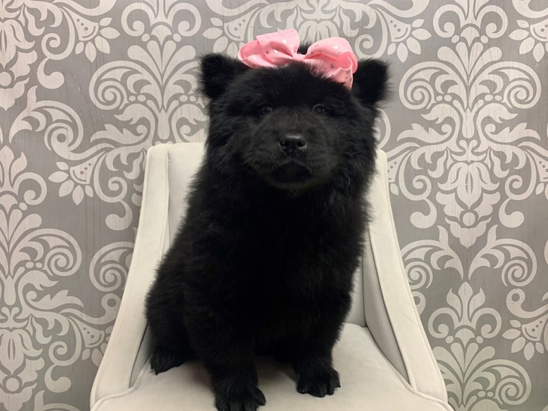 Chow Chow-Female-Black-2533435-Furry Babies