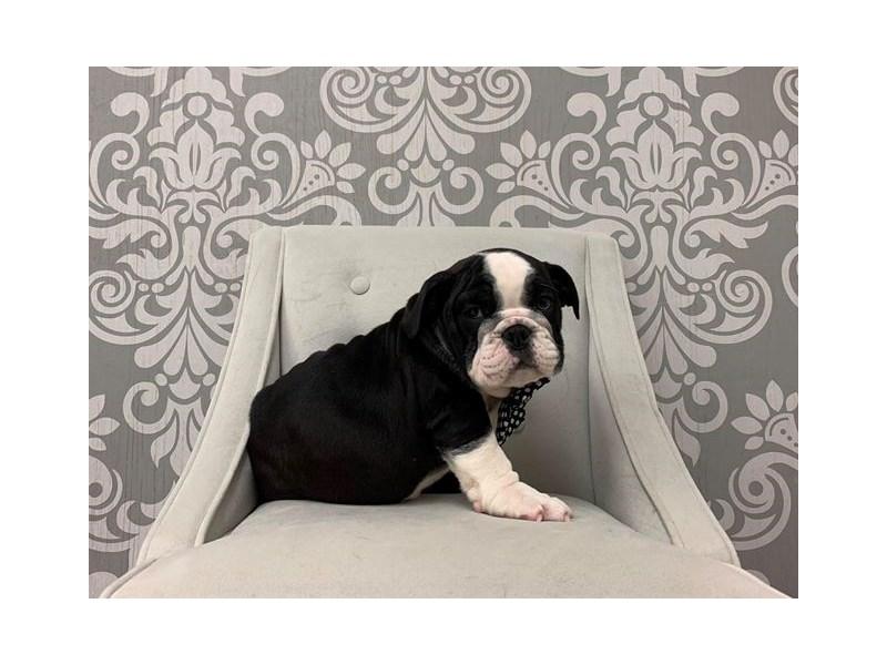 English Bulldog-Male-Black and White-2533899-Furry Babies