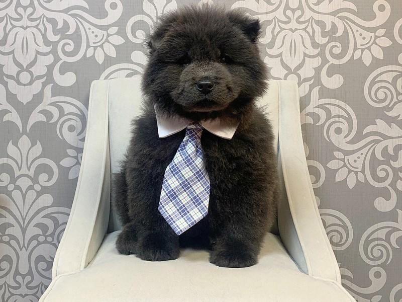 Chow Chow-Male--2540981-Furry Babies