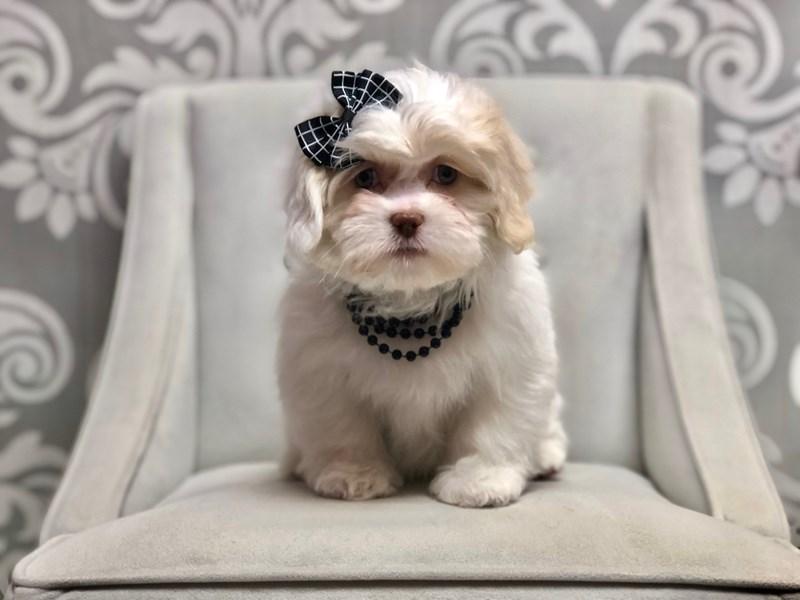 Teddy Bear-Female-Brown White-2553449-Furry Babies