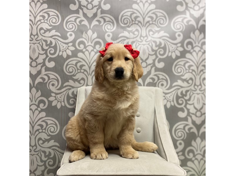 Golden Retriever-Female-Light Golden-2561303-Furry Babies