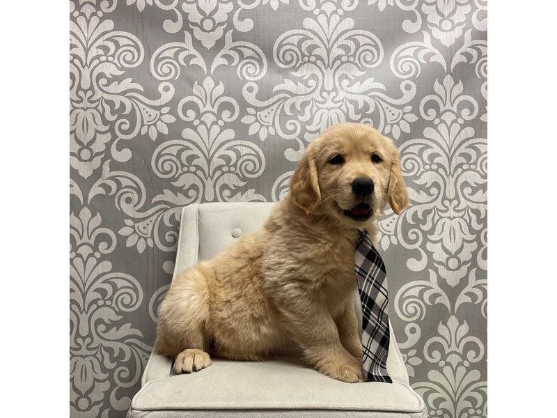 Golden Retriever-Male-Golden-2561278-Furry Babies