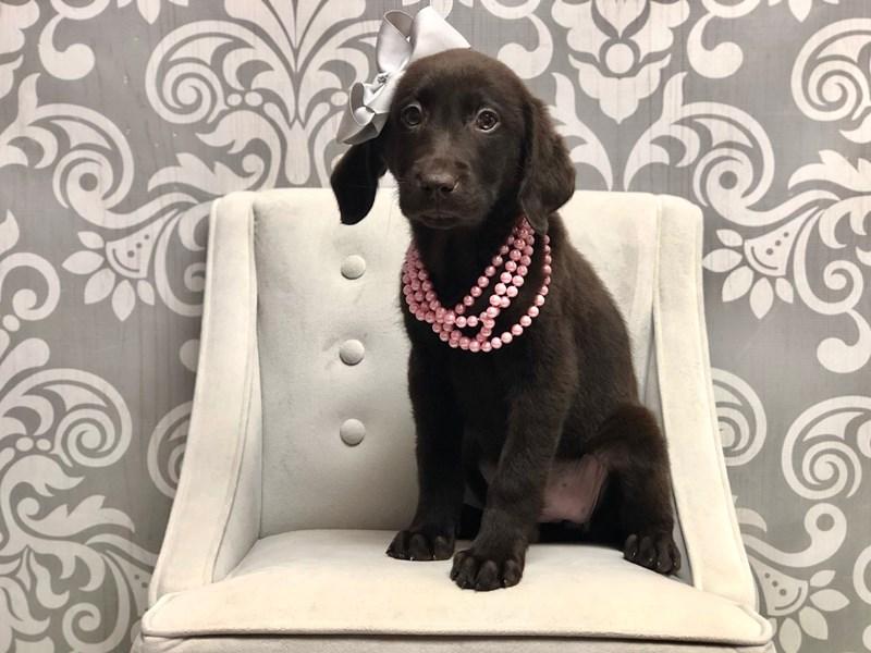 Labrador Retriever-Female-Chocolate-2566839-Furry Babies