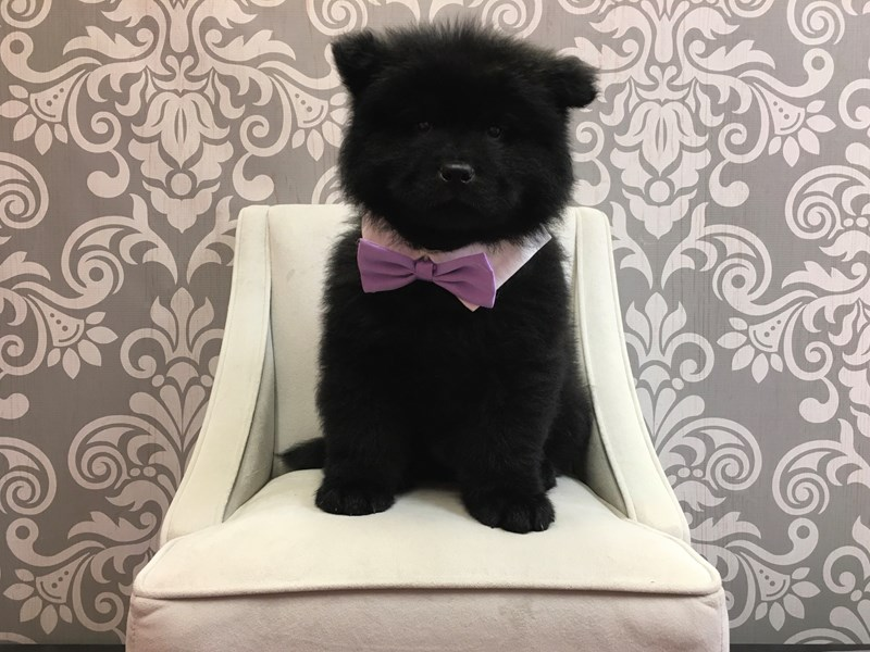 Chow Chow-Male-Black-2533229-Furry Babies