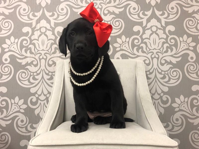 Labrador Retriever-Female-Black-2543222-Furry Babies