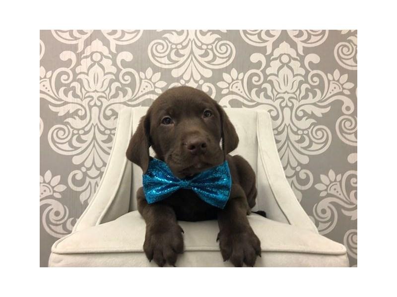 Labrador Retriever-Male-Chocolate-2561214-Furry Babies