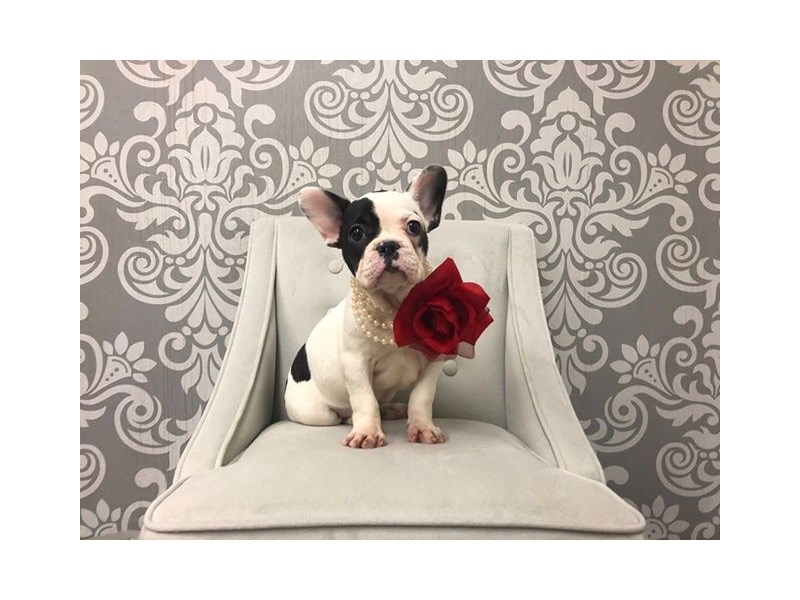 French Bulldog-Female-BLK WHITE-2561163-Furry Babies