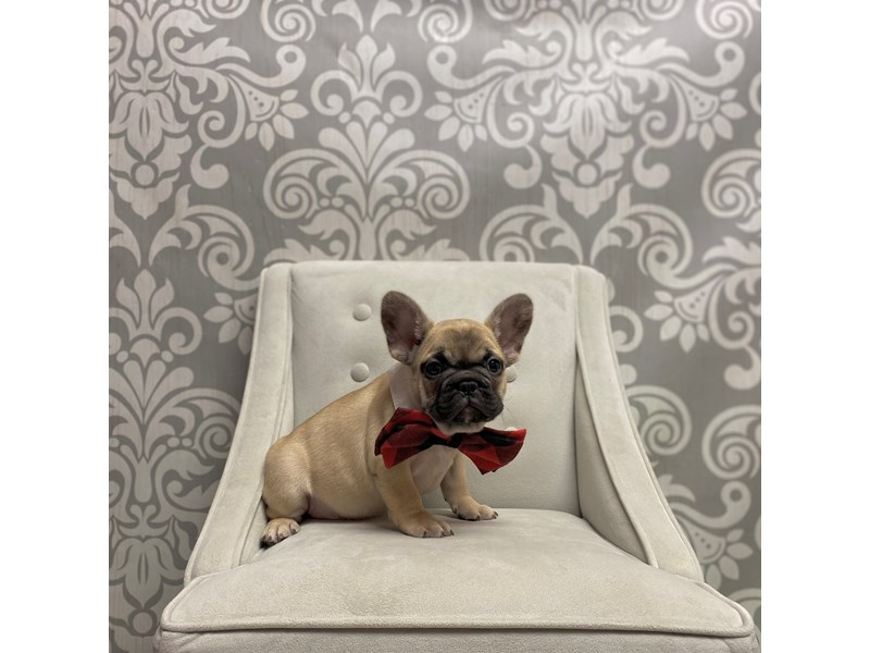 French Bulldog-Male-fawn-2560981-Furry Babies