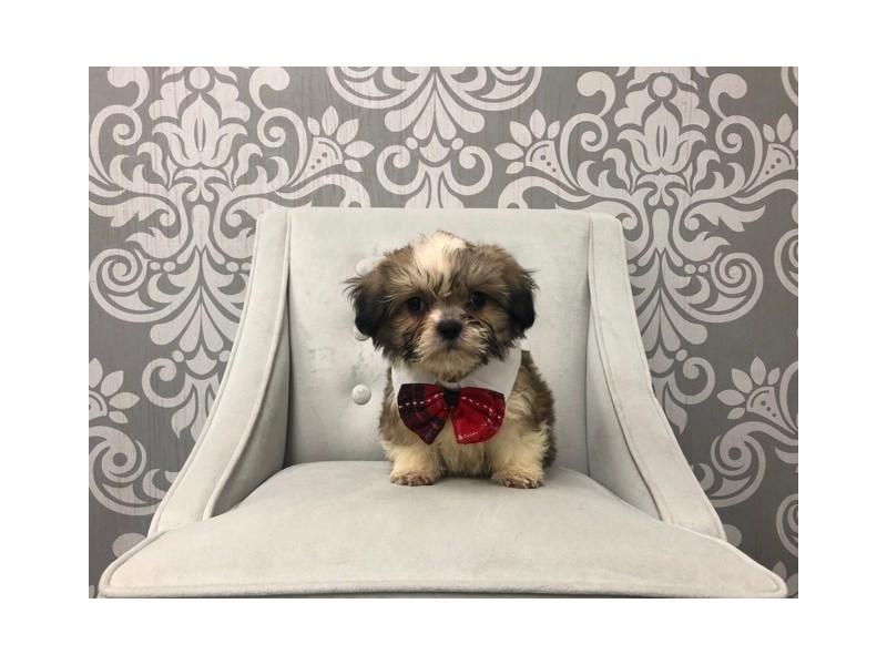 Teddy Bear-Male-brown white-2566825-Furry Babies