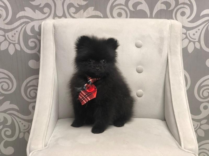 Pomeranian-Male-Black-2570753-Furry Babies