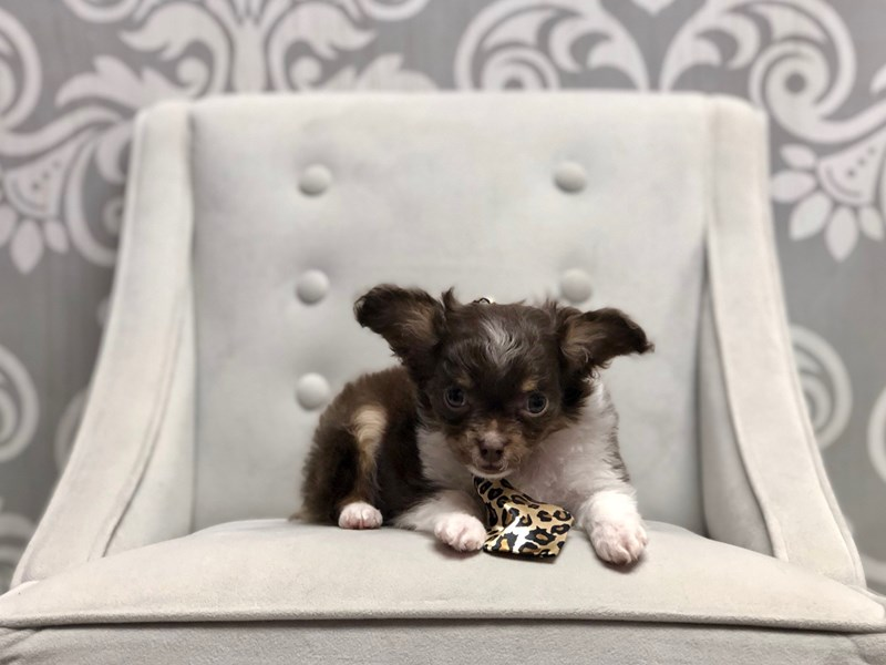 Chihuahua-Male-CHOC WH-2577120-Furry Babies