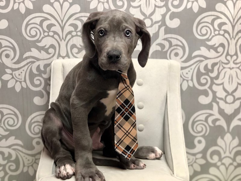 Great Dane-Male-Gray-2588335-Furry Babies