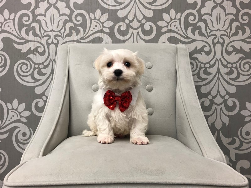 Maltese-Male-White-2516493-Furry Babies