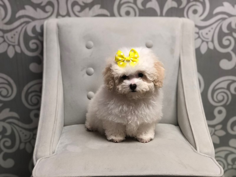 Poodle-Female-White & Apricot-2555638-Furry Babies