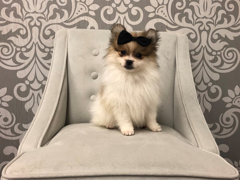 Pomeranian-Female-Red Sable Parti-2572208-Furry Babies
