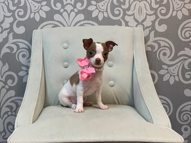 Chihuahua-Female--2576126-Furry Babies