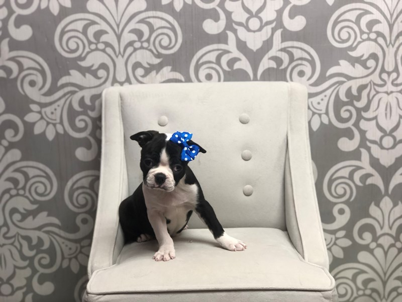 Boston Terrier-Female-BLK WHITE-2588121-Furry Babies