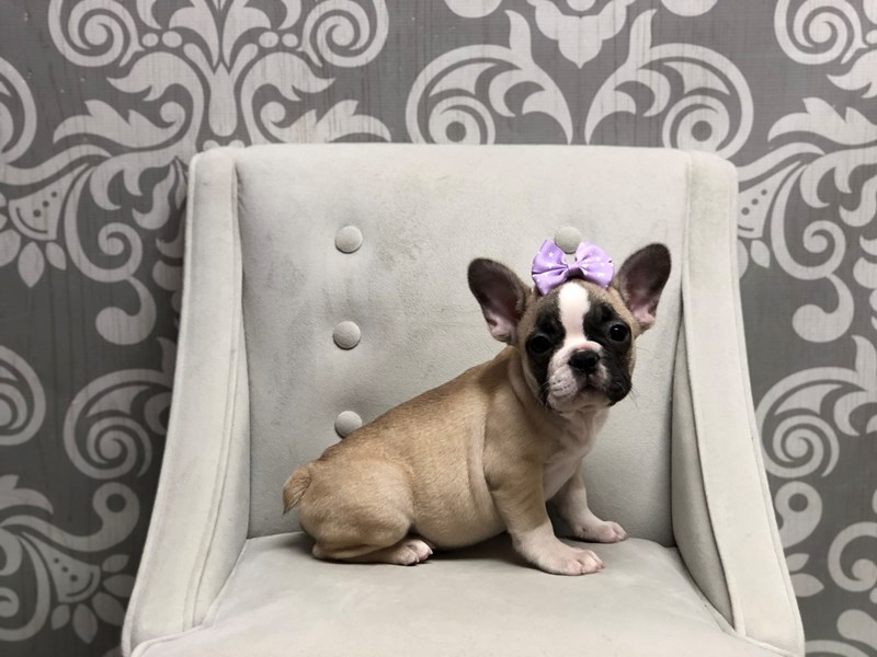 French Bulldog-Female-FAWN WHITE-2595592-Furry Babies