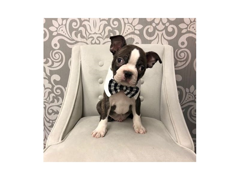 Boston Terrier-Male-BLK WHITE-2596054-Furry Babies