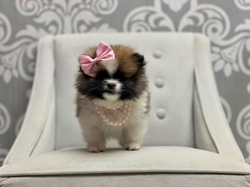 Pomeranian-Female-BROWN WHITE-2603254-Furry Babies