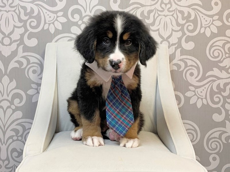 Bernese Mountain Dog-Male-Tri-2632049-Furry Babies