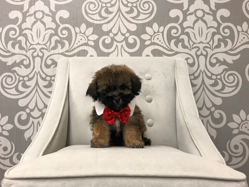Miniature Poodle-Male-CHOC-2554093-Furry Babies
